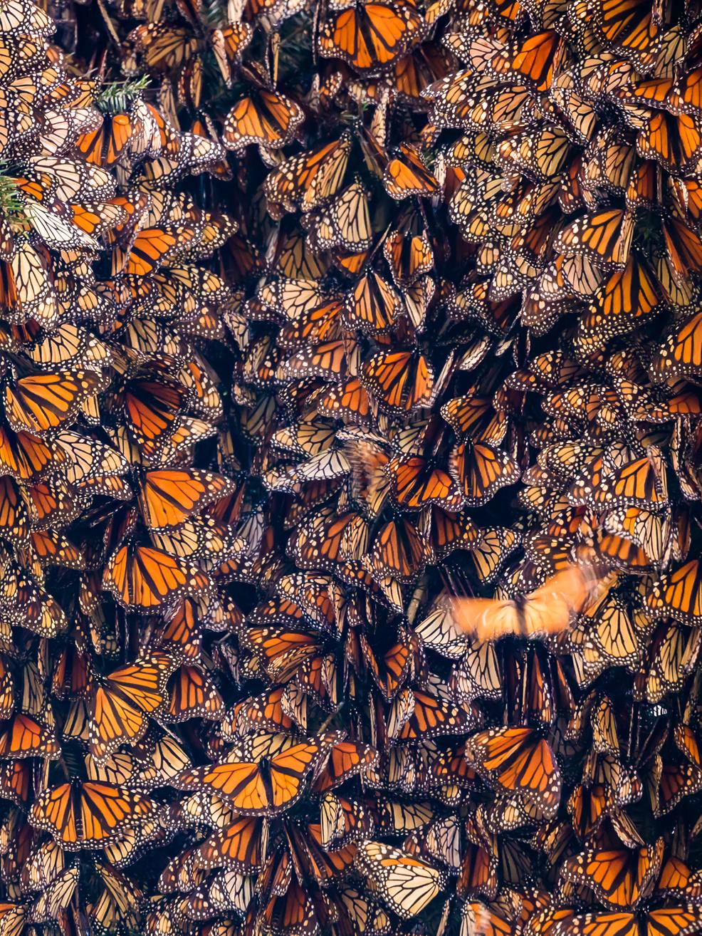 Monarch butterflies in a cluster